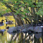 canadian-goose-1374387_1280