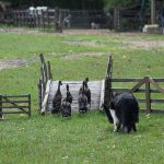 sheep-dog-907653_640