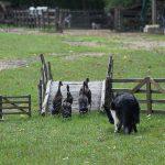 sheep-dog-907653_640